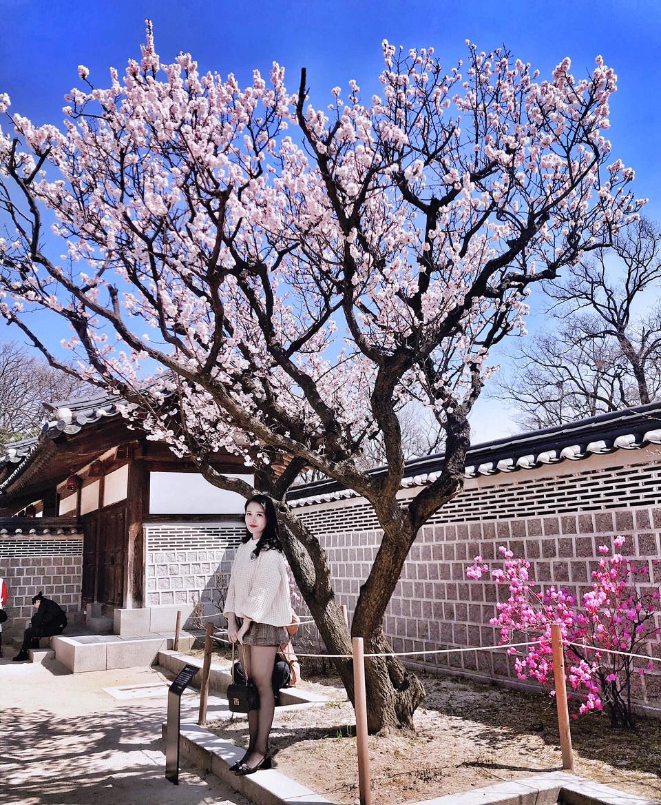 Mùa xuân Hoa anh đào nở rộ khắp đường phố Hàn Quốc
